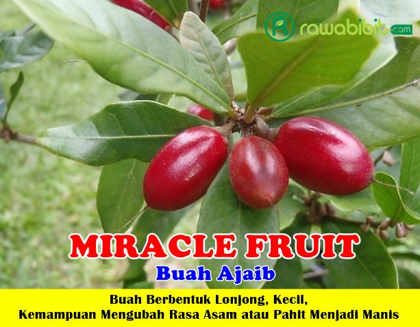 Buah Miracle Fruit