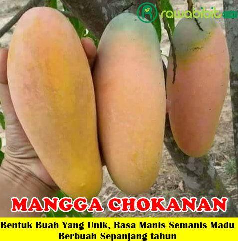 Mangga Chokanan Unggul