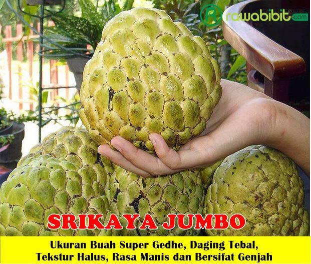 Srikaya Jumbo
