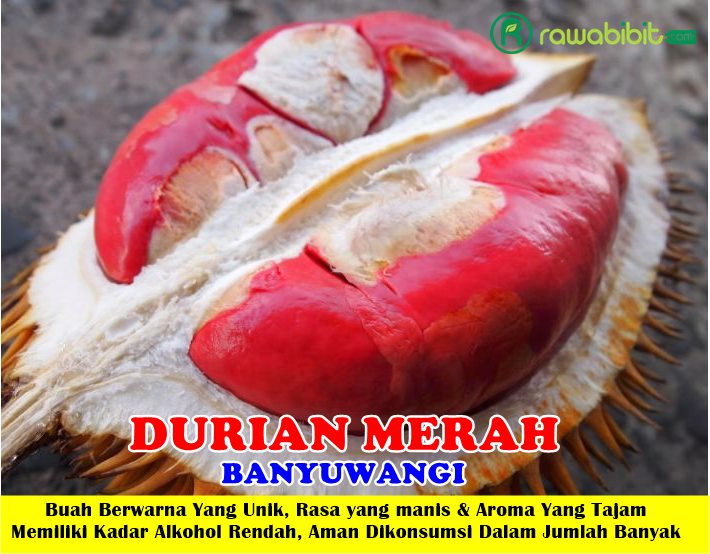Durian Merah Banyuwangi Unggul