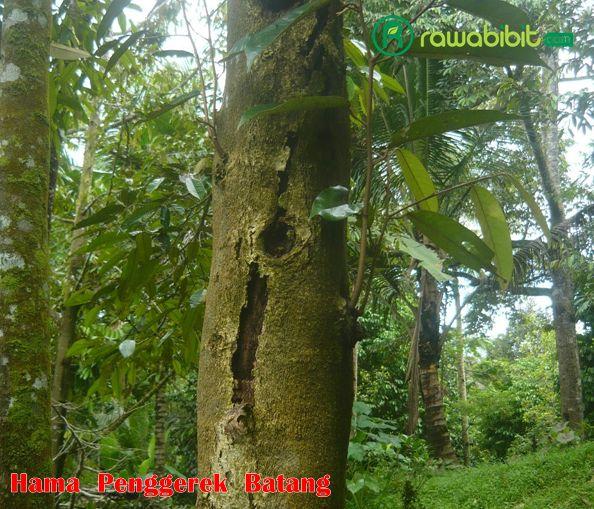 Penggerek Batang durian