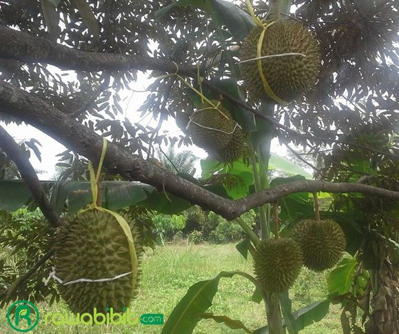 Pohon Durian D24