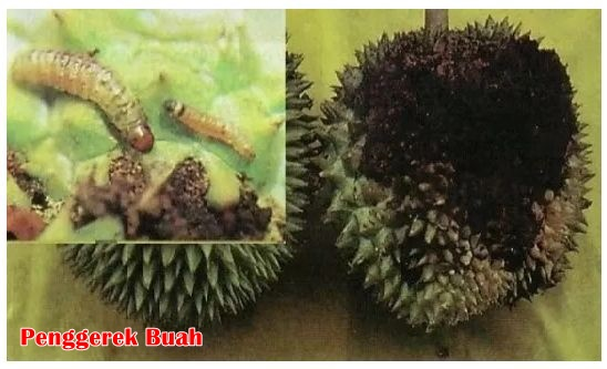 penggerek buah durian