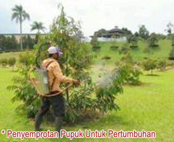 Penyemprotan Pupuk Durian