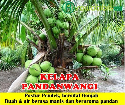 Kelapa Pandanwangi
