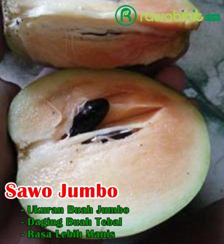 Buah Sawo Jumbo Vietnam